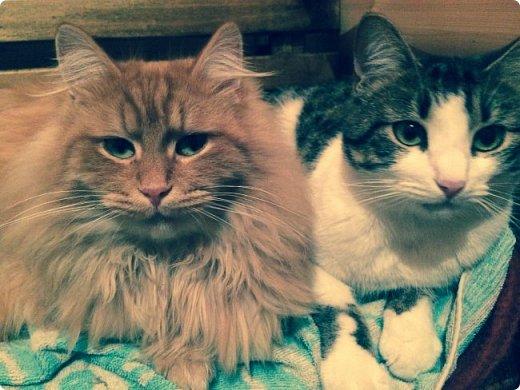 Всем привет!!!! Знакомьтесь, мои кошки. Тося, Степа, Вася, Тиша. фото 36