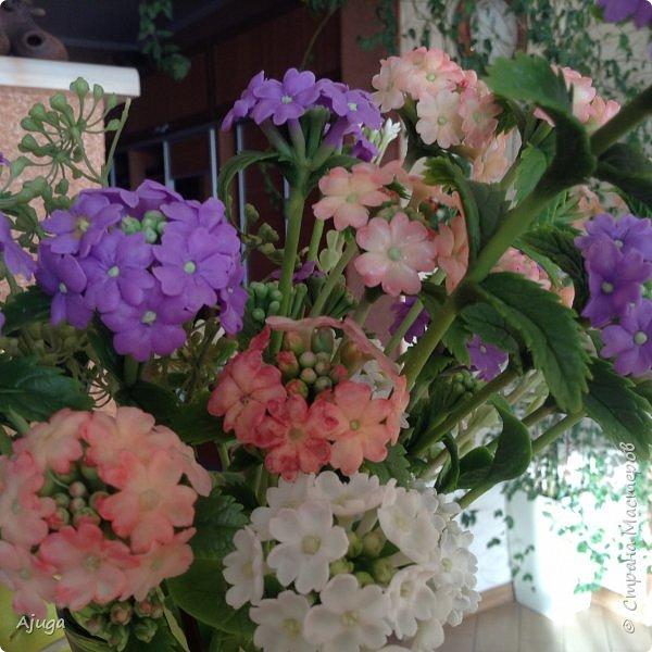 """Вербена- ,,священная ветвь"""" в переводе с латинского. По поверьям этот цветок обладает способностью защищать от болезней, изгонять злых духов, пробуждать интуицию... фото 14"""