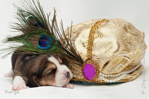 Головной убор из большого куска ткани, задрапированного согласно правилам,  перо павлина, жемчуга, парча, и настоящий щенок бигля.  фото 1