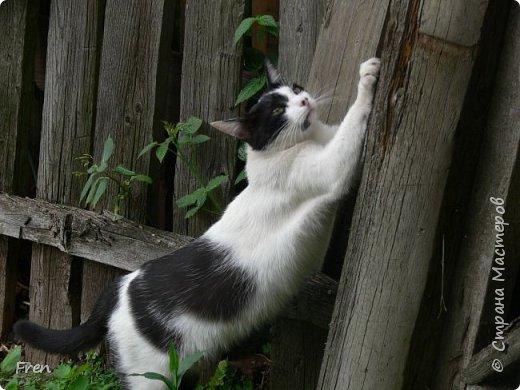 Всем доброго солнечного дня!!! Никаких грустный историй! Только позитив, только весна и КОШКИ! :)) Просто несколько коротких рассказов о знакомых мне и любимых мною кошках.  И самый первый это кот Серый. Конечно такого красавца и умницу должны звать по-другому, но я не знаю чей он, поэтому для меня просто Серый. :))   фото 5