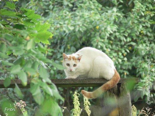 Всем доброго солнечного дня!!! Никаких грустный историй! Только позитив, только весна и КОШКИ! :)) Просто несколько коротких рассказов о знакомых мне и любимых мною кошках.  И самый первый это кот Серый. Конечно такого красавца и умницу должны звать по-другому, но я не знаю чей он, поэтому для меня просто Серый. :))   фото 13
