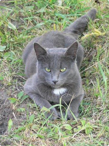 Всем доброго солнечного дня!!! Никаких грустный историй! Только позитив, только весна и КОШКИ! :)) Просто несколько коротких рассказов о знакомых мне и любимых мною кошках.  И самый первый это кот Серый. Конечно такого красавца и умницу должны звать по-другому, но я не знаю чей он, поэтому для меня просто Серый. :))   фото 3
