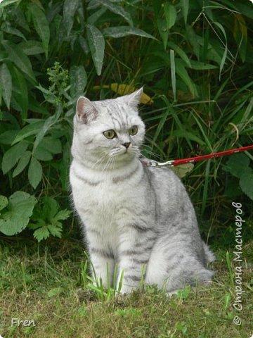 Всем доброго солнечного дня!!! Никаких грустный историй! Только позитив, только весна и КОШКИ! :)) Просто несколько коротких рассказов о знакомых мне и любимых мною кошках.  И самый первый это кот Серый. Конечно такого красавца и умницу должны звать по-другому, но я не знаю чей он, поэтому для меня просто Серый. :))   фото 11