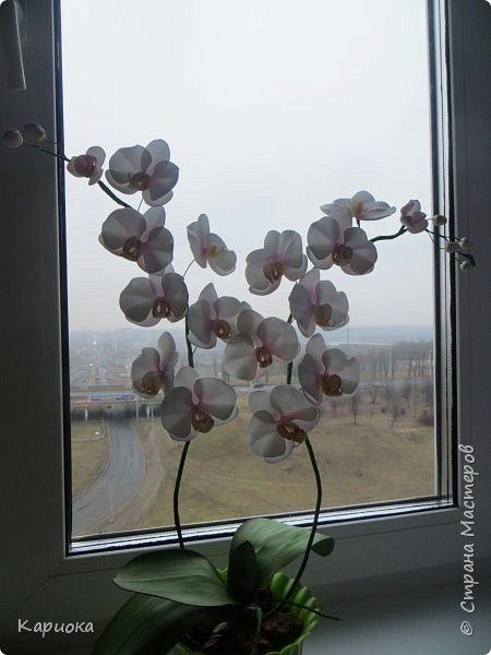 """Здравствуйте. Я с очередной орхидеей. На  этот раз не просто ветка, а полноценный  кустик """"вырастила"""". фото 4"""