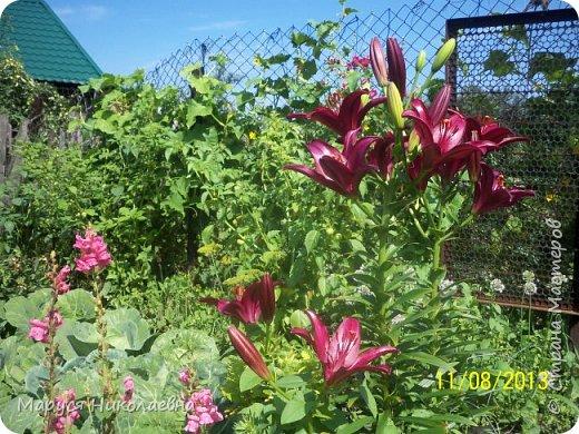 """Лилии - мои любимые цветы. Люблю их за простоту и изысканность, и за разнообразие сортов. Как романтик, с одной стороны, я просто люблю любоваться красивыми цветами, наслаждаться их ароматом. С другой стороны, как """"строгий математик"""", я записываю все названия своих растюшечек, год посадки, пересадки, количество наросших луковичек и обильность цветения. Кому то это, может быть, покажется лишним, но мне это нравится - следишь за своими посадочками как за  настоящими детками. фото 9"""