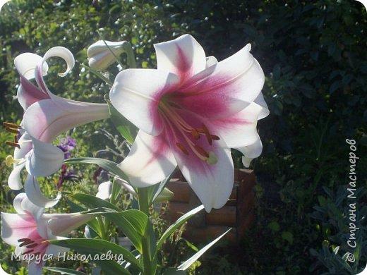 """Лилии - мои любимые цветы. Люблю их за простоту и изысканность, и за разнообразие сортов. Как романтик, с одной стороны, я просто люблю любоваться красивыми цветами, наслаждаться их ароматом. С другой стороны, как """"строгий математик"""", я записываю все названия своих растюшечек, год посадки, пересадки, количество наросших луковичек и обильность цветения. Кому то это, может быть, покажется лишним, но мне это нравится - следишь за своими посадочками как за  настоящими детками. фото 27"""