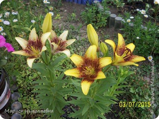 """Лилии - мои любимые цветы. Люблю их за простоту и изысканность, и за разнообразие сортов. Как романтик, с одной стороны, я просто люблю любоваться красивыми цветами, наслаждаться их ароматом. С другой стороны, как """"строгий математик"""", я записываю все названия своих растюшечек, год посадки, пересадки, количество наросших луковичек и обильность цветения. Кому то это, может быть, покажется лишним, но мне это нравится - следишь за своими посадочками как за  настоящими детками. фото 2"""