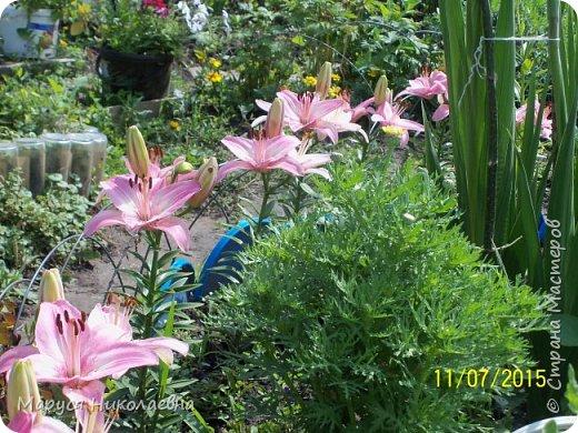 """Лилии - мои любимые цветы. Люблю их за простоту и изысканность, и за разнообразие сортов. Как романтик, с одной стороны, я просто люблю любоваться красивыми цветами, наслаждаться их ароматом. С другой стороны, как """"строгий математик"""", я записываю все названия своих растюшечек, год посадки, пересадки, количество наросших луковичек и обильность цветения. Кому то это, может быть, покажется лишним, но мне это нравится - следишь за своими посадочками как за  настоящими детками. фото 6"""