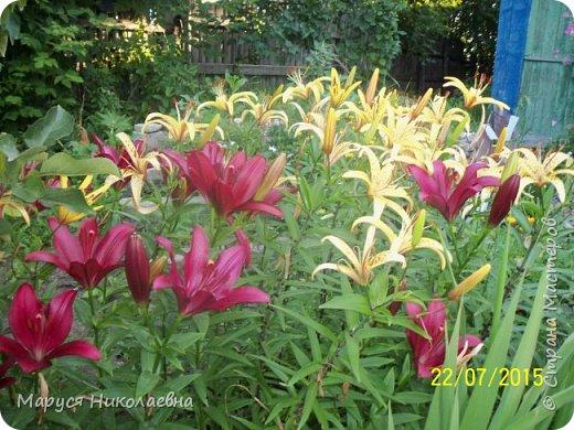 """Лилии - мои любимые цветы. Люблю их за простоту и изысканность, и за разнообразие сортов. Как романтик, с одной стороны, я просто люблю любоваться красивыми цветами, наслаждаться их ароматом. С другой стороны, как """"строгий математик"""", я записываю все названия своих растюшечек, год посадки, пересадки, количество наросших луковичек и обильность цветения. Кому то это, может быть, покажется лишним, но мне это нравится - следишь за своими посадочками как за  настоящими детками. фото 12"""