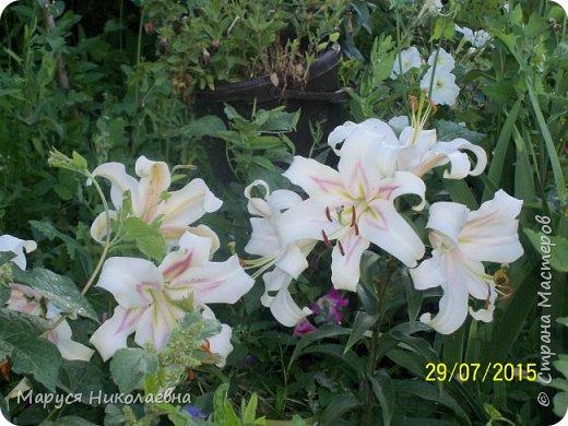 """Лилии - мои любимые цветы. Люблю их за простоту и изысканность, и за разнообразие сортов. Как романтик, с одной стороны, я просто люблю любоваться красивыми цветами, наслаждаться их ароматом. С другой стороны, как """"строгий математик"""", я записываю все названия своих растюшечек, год посадки, пересадки, количество наросших луковичек и обильность цветения. Кому то это, может быть, покажется лишним, но мне это нравится - следишь за своими посадочками как за  настоящими детками. фото 28"""