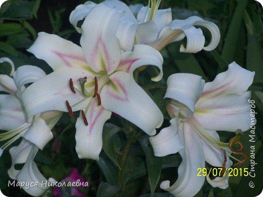 """Лилии - мои любимые цветы. Люблю их за простоту и изысканность, и за разнообразие сортов. Как романтик, с одной стороны, я просто люблю любоваться красивыми цветами, наслаждаться их ароматом. С другой стороны, как """"строгий математик"""", я записываю все названия своих растюшечек, год посадки, пересадки, количество наросших луковичек и обильность цветения. Кому то это, может быть, покажется лишним, но мне это нравится - следишь за своими посадочками как за  настоящими детками. фото 29"""