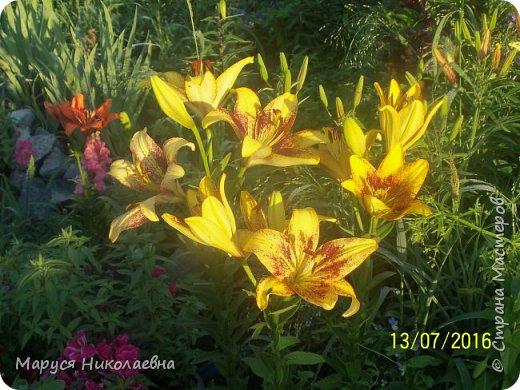 """Лилии - мои любимые цветы. Люблю их за простоту и изысканность, и за разнообразие сортов. Как романтик, с одной стороны, я просто люблю любоваться красивыми цветами, наслаждаться их ароматом. С другой стороны, как """"строгий математик"""", я записываю все названия своих растюшечек, год посадки, пересадки, количество наросших луковичек и обильность цветения. Кому то это, может быть, покажется лишним, но мне это нравится - следишь за своими посадочками как за  настоящими детками. фото 4"""