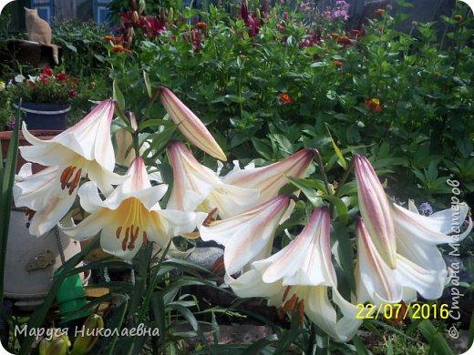 """Лилии - мои любимые цветы. Люблю их за простоту и изысканность, и за разнообразие сортов. Как романтик, с одной стороны, я просто люблю любоваться красивыми цветами, наслаждаться их ароматом. С другой стороны, как """"строгий математик"""", я записываю все названия своих растюшечек, год посадки, пересадки, количество наросших луковичек и обильность цветения. Кому то это, может быть, покажется лишним, но мне это нравится - следишь за своими посадочками как за  настоящими детками. фото 18"""