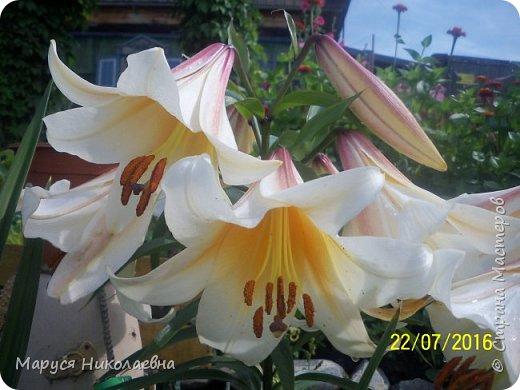 """Лилии - мои любимые цветы. Люблю их за простоту и изысканность, и за разнообразие сортов. Как романтик, с одной стороны, я просто люблю любоваться красивыми цветами, наслаждаться их ароматом. С другой стороны, как """"строгий математик"""", я записываю все названия своих растюшечек, год посадки, пересадки, количество наросших луковичек и обильность цветения. Кому то это, может быть, покажется лишним, но мне это нравится - следишь за своими посадочками как за  настоящими детками. фото 17"""