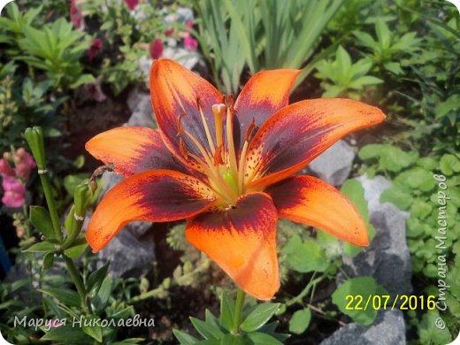 """Лилии - мои любимые цветы. Люблю их за простоту и изысканность, и за разнообразие сортов. Как романтик, с одной стороны, я просто люблю любоваться красивыми цветами, наслаждаться их ароматом. С другой стороны, как """"строгий математик"""", я записываю все названия своих растюшечек, год посадки, пересадки, количество наросших луковичек и обильность цветения. Кому то это, может быть, покажется лишним, но мне это нравится - следишь за своими посадочками как за  настоящими детками. фото 16"""
