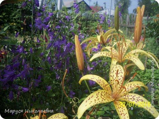"""Лилии - мои любимые цветы. Люблю их за простоту и изысканность, и за разнообразие сортов. Как романтик, с одной стороны, я просто люблю любоваться красивыми цветами, наслаждаться их ароматом. С другой стороны, как """"строгий математик"""", я записываю все названия своих растюшечек, год посадки, пересадки, количество наросших луковичек и обильность цветения. Кому то это, может быть, покажется лишним, но мне это нравится - следишь за своими посадочками как за  настоящими детками. фото 13"""