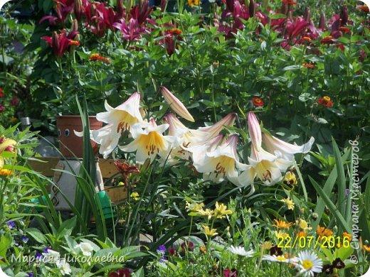 """Лилии - мои любимые цветы. Люблю их за простоту и изысканность, и за разнообразие сортов. Как романтик, с одной стороны, я просто люблю любоваться красивыми цветами, наслаждаться их ароматом. С другой стороны, как """"строгий математик"""", я записываю все названия своих растюшечек, год посадки, пересадки, количество наросших луковичек и обильность цветения. Кому то это, может быть, покажется лишним, но мне это нравится - следишь за своими посадочками как за  настоящими детками. фото 19"""