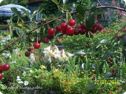 """Лилии - мои любимые цветы. Люблю их за простоту и изысканность, и за разнообразие сортов. Как романтик, с одной стороны, я просто люблю любоваться красивыми цветами, наслаждаться их ароматом. С другой стороны, как """"строгий математик"""", я записываю все названия своих растюшечек, год посадки, пересадки, количество наросших луковичек и обильность цветения. Кому то это, может быть, покажется лишним, но мне это нравится - следишь за своими посадочками как за  настоящими детками. фото 20"""