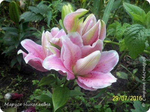 """Лилии - мои любимые цветы. Люблю их за простоту и изысканность, и за разнообразие сортов. Как романтик, с одной стороны, я просто люблю любоваться красивыми цветами, наслаждаться их ароматом. С другой стороны, как """"строгий математик"""", я записываю все названия своих растюшечек, год посадки, пересадки, количество наросших луковичек и обильность цветения. Кому то это, может быть, покажется лишним, но мне это нравится - следишь за своими посадочками как за  настоящими детками. фото 22"""
