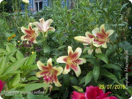 """Лилии - мои любимые цветы. Люблю их за простоту и изысканность, и за разнообразие сортов. Как романтик, с одной стороны, я просто люблю любоваться красивыми цветами, наслаждаться их ароматом. С другой стороны, как """"строгий математик"""", я записываю все названия своих растюшечек, год посадки, пересадки, количество наросших луковичек и обильность цветения. Кому то это, может быть, покажется лишним, но мне это нравится - следишь за своими посадочками как за  настоящими детками. фото 30"""