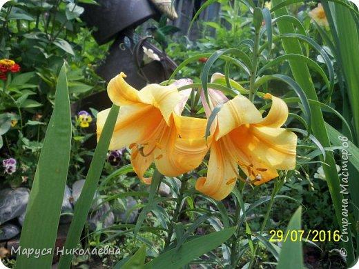 """Лилии - мои любимые цветы. Люблю их за простоту и изысканность, и за разнообразие сортов. Как романтик, с одной стороны, я просто люблю любоваться красивыми цветами, наслаждаться их ароматом. С другой стороны, как """"строгий математик"""", я записываю все названия своих растюшечек, год посадки, пересадки, количество наросших луковичек и обильность цветения. Кому то это, может быть, покажется лишним, но мне это нравится - следишь за своими посадочками как за  настоящими детками. фото 21"""