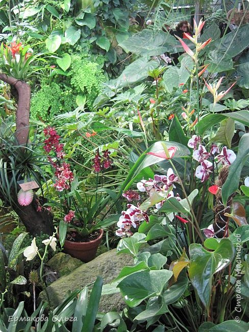 Аптекарский огород ботанического сада МГУ основан в 1706 году Петром Великим. Это старейший ботанический сад России.Я приглашаю Вас прогуляться по его оранжереям... фото 11