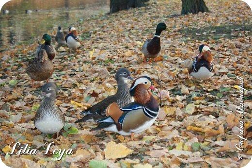 Совсем недавно я приглашала вас на прогулку в Тридевятое царство к Их Величествам павлинам   http://stranamasterov.ru/node/1085754 А сейчас предлагаю заглянуть в Китайский уголок и полюбоваться редкой птичкой с красивым названием мандаринка. фото 20