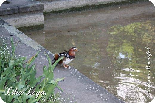 Совсем недавно я приглашала вас на прогулку в Тридевятое царство к Их Величествам павлинам   http://stranamasterov.ru/node/1085754 А сейчас предлагаю заглянуть в Китайский уголок и полюбоваться редкой птичкой с красивым названием мандаринка. фото 33
