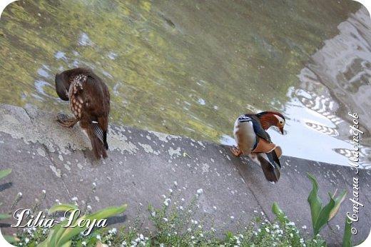 Совсем недавно я приглашала вас на прогулку в Тридевятое царство к Их Величествам павлинам   http://stranamasterov.ru/node/1085754 А сейчас предлагаю заглянуть в Китайский уголок и полюбоваться редкой птичкой с красивым названием мандаринка. фото 37
