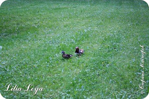 Совсем недавно я приглашала вас на прогулку в Тридевятое царство к Их Величествам павлинам   https://stranamasterov.ru/node/1085754 А сейчас предлагаю заглянуть в Китайский уголок и полюбоваться редкой птичкой с красивым названием мандаринка. фото 46