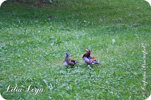 Совсем недавно я приглашала вас на прогулку в Тридевятое царство к Их Величествам павлинам   http://stranamasterov.ru/node/1085754 А сейчас предлагаю заглянуть в Китайский уголок и полюбоваться редкой птичкой с красивым названием мандаринка. фото 47