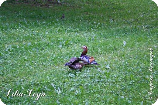 Совсем недавно я приглашала вас на прогулку в Тридевятое царство к Их Величествам павлинам   http://stranamasterov.ru/node/1085754 А сейчас предлагаю заглянуть в Китайский уголок и полюбоваться редкой птичкой с красивым названием мандаринка. фото 48