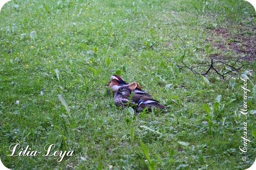 Совсем недавно я приглашала вас на прогулку в Тридевятое царство к Их Величествам павлинам   http://stranamasterov.ru/node/1085754 А сейчас предлагаю заглянуть в Китайский уголок и полюбоваться редкой птичкой с красивым названием мандаринка. фото 50