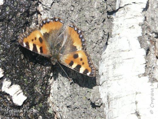 Здравствуй , Страна ! Весной всегда хочешь лета ,солнца ,бабочек. Да,да бабочек. Полазив в фотках прошлого года я нашла вот такие: фото 2