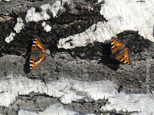 Здравствуй , Страна ! Весной всегда хочешь лета ,солнца ,бабочек. Да,да бабочек. Полазив в фотках прошлого года я нашла вот такие: фото 4