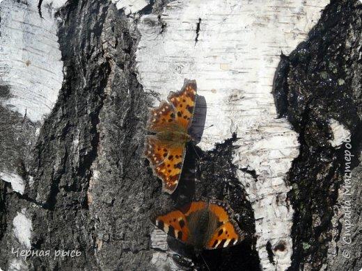 Здравствуй , Страна ! Весной всегда хочешь лета ,солнца ,бабочек. Да,да бабочек. Полазив в фотках прошлого года я нашла вот такие: фото 5