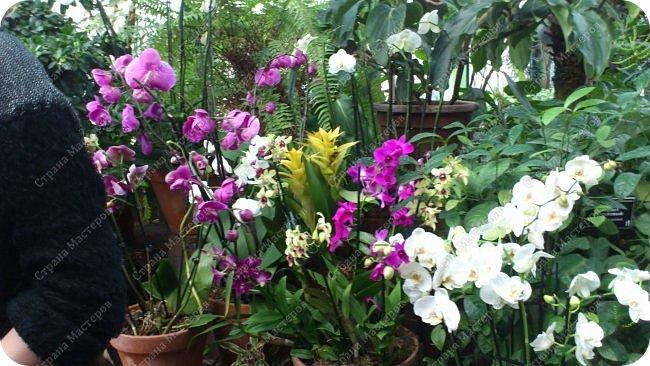 """Ботанический сад МГУ""""Аптекарский огород"""". 5 марта 2017 год.  VIII фестиваль орхидей, хищных растений и растений пустынь  , посвящённый 180-летию окончания легендарного кругосветного путешествия Чарльза Дарвина на корабле «Бигль», учёный известен также своей любовью к орхидеям . фото 4"""