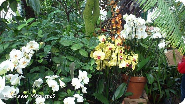"""Ботанический сад МГУ""""Аптекарский огород"""". 5 марта 2017 год.  VIII фестиваль орхидей, хищных растений и растений пустынь  , посвящённый 180-летию окончания легендарного кругосветного путешествия Чарльза Дарвина на корабле «Бигль», учёный известен также своей любовью к орхидеям . фото 3"""