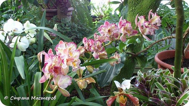 """Ботанический сад МГУ""""Аптекарский огород"""". 5 марта 2017 год.  VIII фестиваль орхидей, хищных растений и растений пустынь  , посвящённый 180-летию окончания легендарного кругосветного путешествия Чарльза Дарвина на корабле «Бигль», учёный известен также своей любовью к орхидеям . фото 1"""