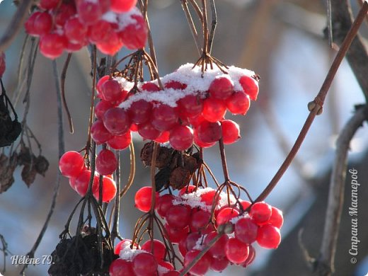 """"""" На чисто-белом покрывале снега, рябины красной куст огнём горит...  фото 8"""