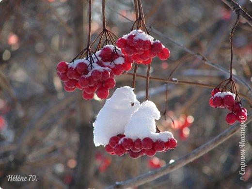 """"""" На чисто-белом покрывале снега, рябины красной куст огнём горит...  фото 10"""