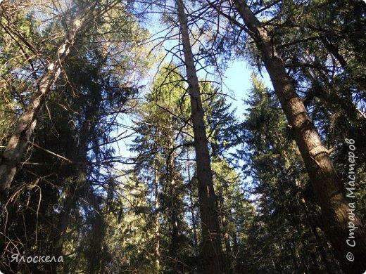 Погода отличная: тепло и солнечно! В наши края пришла настоящая весна! Небо чистое, ярко-голубое и очень высокое! Отправились на прогулку, подышать свежим воздухом, послушать и посмотреть как оживает природа...  Еловый лес встретил нас довольно сумрачно. фото 1
