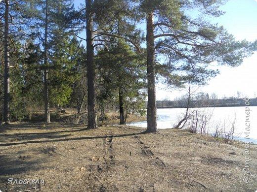Погода отличная: тепло и солнечно! В наши края пришла настоящая весна! Небо чистое, ярко-голубое и очень высокое! Отправились на прогулку, подышать свежим воздухом, послушать и посмотреть как оживает природа...  Еловый лес встретил нас довольно сумрачно. фото 12