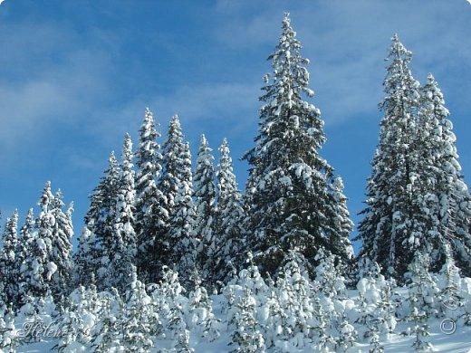 Намело, Навьюжило. Все деревья  В кружеве: Снег на соснах, На кустах, В белых шубках ели. И запутались в ветвях  Буйные метели.   (Н.Гончаров)   фото 1