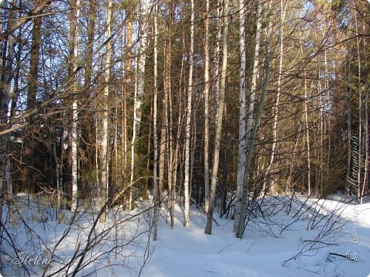 Намело, Навьюжило. Все деревья  В кружеве: Снег на соснах, На кустах, В белых шубках ели. И запутались в ветвях  Буйные метели.   (Н.Гончаров)   фото 9