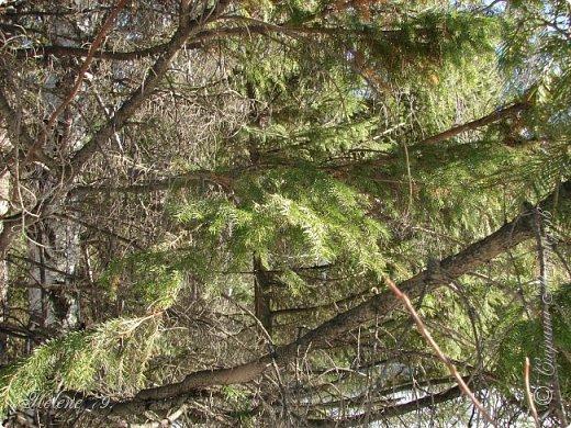 Намело, Навьюжило. Все деревья  В кружеве: Снег на соснах, На кустах, В белых шубках ели. И запутались в ветвях  Буйные метели.   (Н.Гончаров)   фото 15