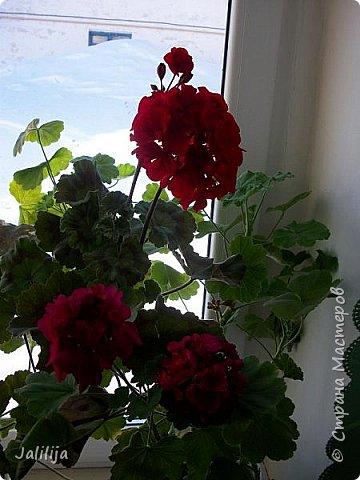 Мы с моими цветами смотрим в окно: горы снега! А мы хотим весну, тепло, хотим на волю,  на воздух. Прогноз погоды пока неутешительный, только начало таять и опять целую неделю снег, метели. Но мы не унываем, мы готовимся, наряжаемся к весне, мечтаем о лете.  Смотрите сами.  фото 21