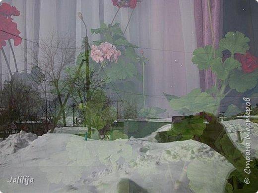 Мы с моими цветами смотрим в окно: горы снега! А мы хотим весну, тепло, хотим на волю,  на воздух. Прогноз погоды пока неутешительный, только начало таять и опять целую неделю снег, метели. Но мы не унываем, мы готовимся, наряжаемся к весне, мечтаем о лете.  Смотрите сами.  фото 1