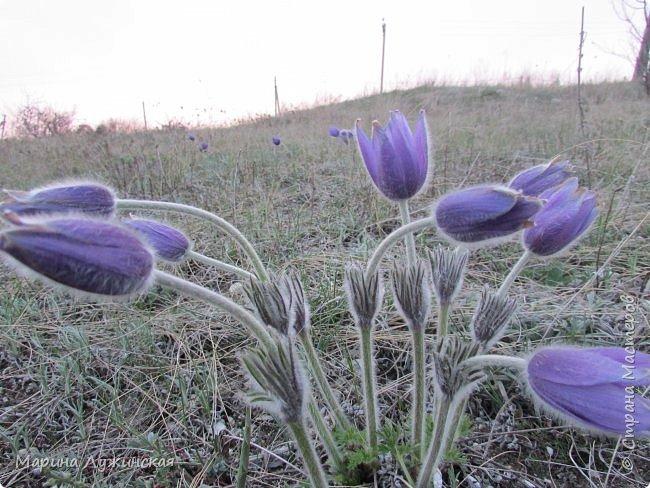 Всем привет!  Наступила весна и мы с детишками всё свободное время стараемся проводить на свежем воздухе. Мы ходим в небольшие походы по нашим местным окрестностям, а во время этих прогулок мы стараемся по-внимательней присматриваться ко всему, что нас окружает.  А окружает нас невероятная красота!!! Хочу поделится с Вами нашими мартовскими находками.... фото 22