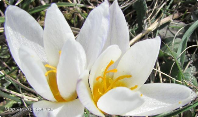 Всем привет!  Наступила весна и мы с детишками всё свободное время стараемся проводить на свежем воздухе. Мы ходим в небольшие походы по нашим местным окрестностям, а во время этих прогулок мы стараемся по-внимательней присматриваться ко всему, что нас окружает.  А окружает нас невероятная красота!!! Хочу поделится с Вами нашими мартовскими находками.... фото 3